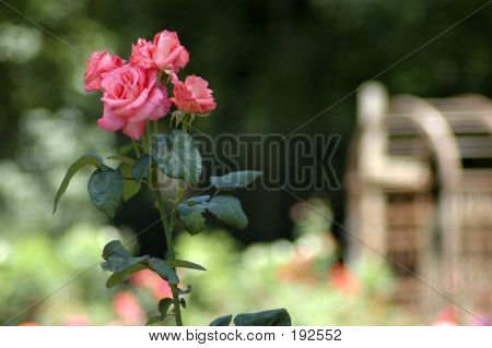 Pink Roses With Arbor