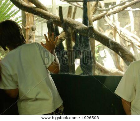 Young Boy Watching Ape
