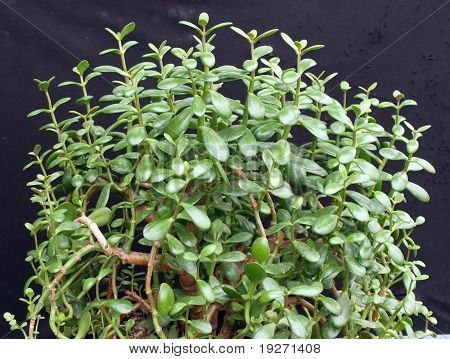 Money Plant (crassula Ovata) 2