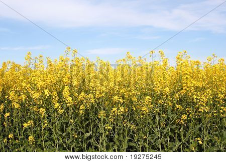 Oilseed Rapeseed Field