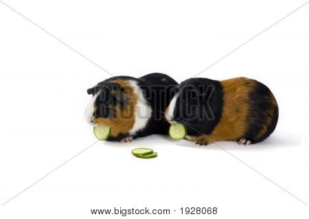 Two Eating Guinea Pigs