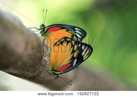 Close up of butterfly couple mating on a tree