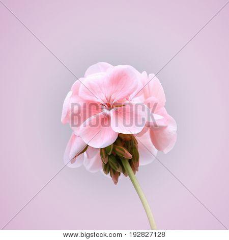 Close up of blossoming pink geranium flower