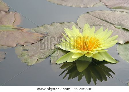 Yellow water lily and it's reflection