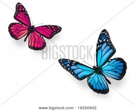 Monarch butterfly in flying positions in bright blue and vivid pink. Isolated on white, studio shot.