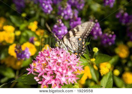Papilio Glaucas