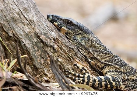 a lace monitor (goanna) stops and rests at the base of a tree