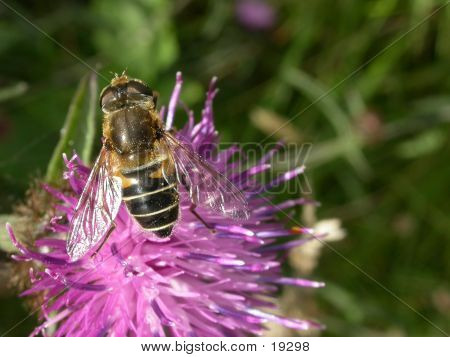 Hoverfly 04