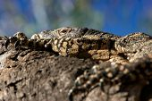 stock photo of goanna  - a big lace monitor goanna lizard lays and rests in the tree - JPG