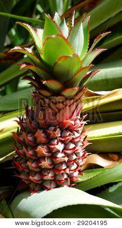 Frische Baby-Ananas auf Baum