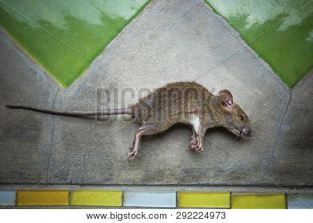 Body Of Dead Rat On