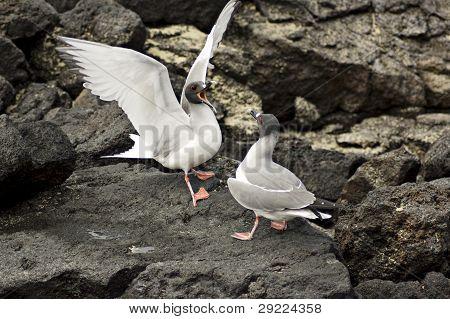 Fighting seagulls