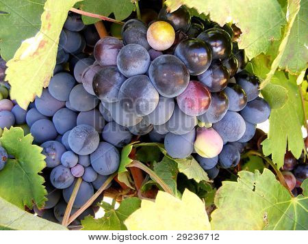 Grapes ripening