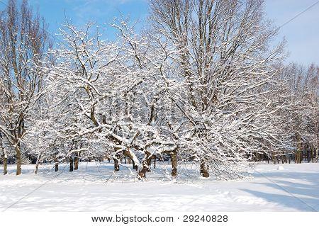 Trees Covered With Snow In Oleksandriya Park, Bila Tserkva, Ukraine