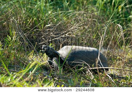 Gopher Tortoise In Prifile