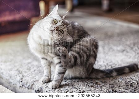 poster of American Shorthair Cat Is Scratching,a Beautiful American Cat, Cats Are Scratching Ticks.