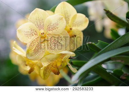 poster of Vanda Orchid. Flower In Garden At Sunny Summer Or Spring Day. Flower For Postcard Beauty Decoration