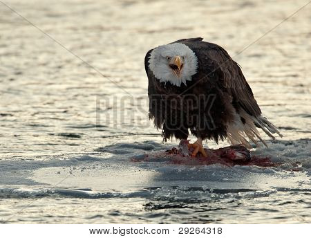 Shouting Bald Eagle Eats Salmon