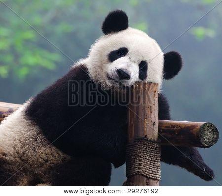 riesiger Panda-Bär
