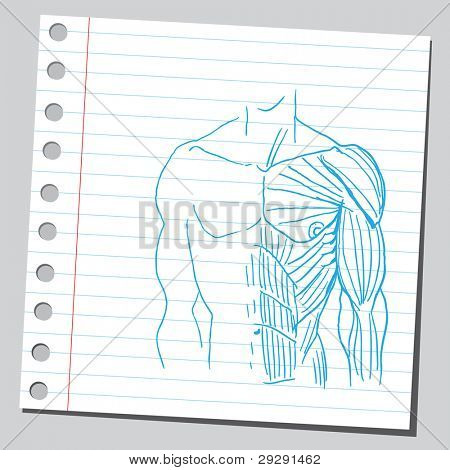 Human torso muscles anatomy
