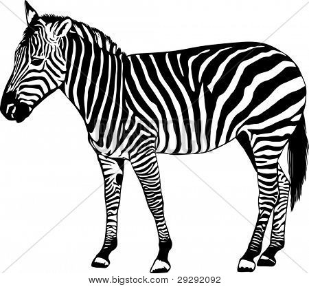 Zebra silhouette - vector illustration