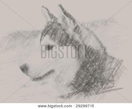 Drawn Portrait Of Siberian Husky