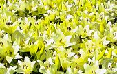 Flowerbed Of Lilies. Bright Yellow Flowers Lilies Close-up. Watercolor Painting. Acrylic Painting. D poster