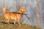 Small Cute Dog Lit By Golden Sunlight Holding A Wooden Stick In Its Mouth And Looking This Way. Pets poster