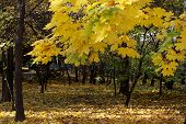 picture of tatas  - Beautiful yellow leaves of an autumn european maple tree in a public park in Tata Hungary - JPG