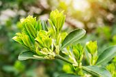 Close-up Of Spring Sprouts Of Evergreen Boxwood On A Blurred Green Background On A Sunny Day. Nature poster