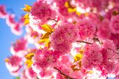 Spring Border Background With Pink Blossom. Cherry Blossom. Branch Delicate Spring Flowers. Sacura C poster