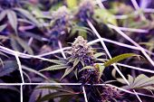 Marijuana Plant. Purple Haze variety of Marijuana Plant. Cannabis Sativa strain of Marijuana.  poster