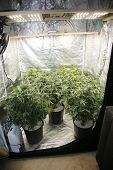 Marijuana. Growing Marijuana and Cannabis. Medical and Recreational Marijuana grow room or indoor po poster