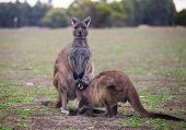 The Wild Famale Kangaroo Feeding Her Joey From The Pouch. Australia. poster