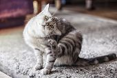 American Shorthair Cat Is Scratching,a Beautiful American Cat, Cats Are Scratching Ticks. poster