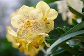 Vanda Orchid. Flower In Garden At Sunny Summer Or Spring Day. Flower For Postcard Beauty Decoration  poster