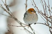 The Pine Grosbeak (female)