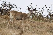 picture of blacktail  - Two forms of black - JPG