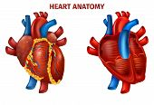 Vector Illustration Of Realistic Human Heart Anatomy. Medical Poster Cardiovascular Organ Outside, I poster