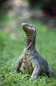 stock photo of goanna  - Wild varanus is looking for a prey - JPG