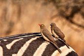 picture of ox-pecker  - Two red - JPG