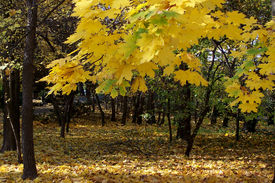 stock photo of tatas  - Beautiful yellow leaves of an autumn european maple tree in a public park in Tata Hungary - JPG