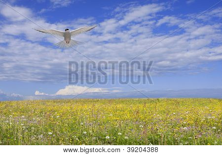 Arctic tern, Sterna Paradisaea above a summer meadow.