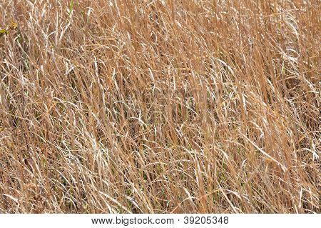 Many Dry Grass