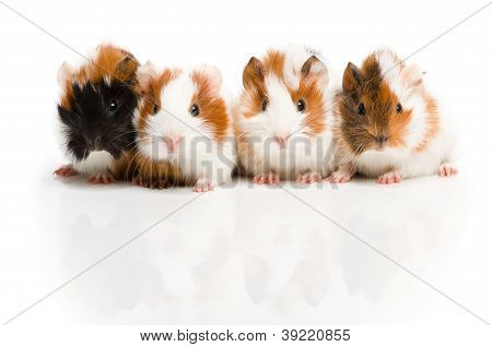 Four guinea pigs together in row