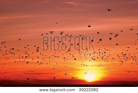 Silhouettes Of Flying Birds Over Sunset