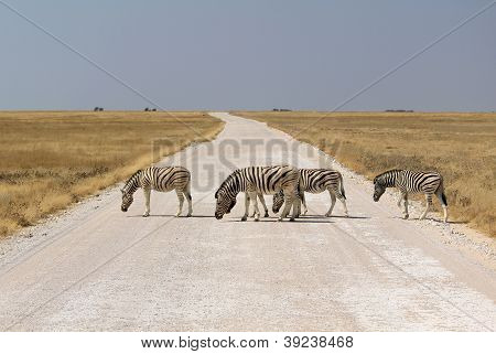Herd Of Burchell�s Zebras Crossing Road In Etosha Wildpark