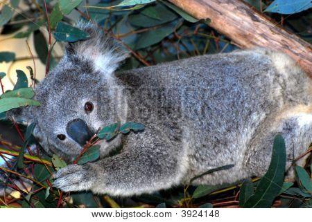 Cuddy Koala
