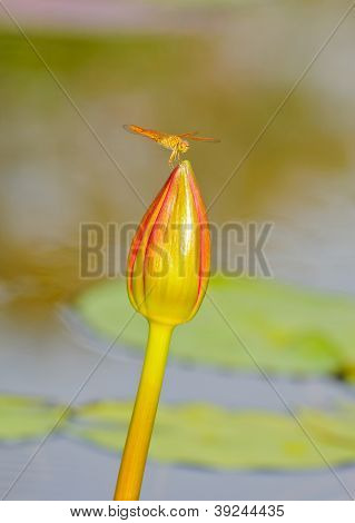 Dragonfly Staying On Top Of Lotus Bud