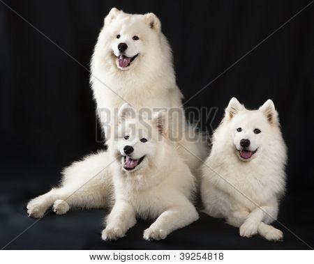 Samoyedo dog (o Bjelkier)